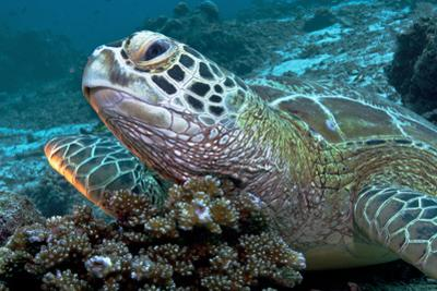 A Green Sea Turtle Lies Atop Hard Coral During Low Tide to Have Fish Clean its Shell from Algae