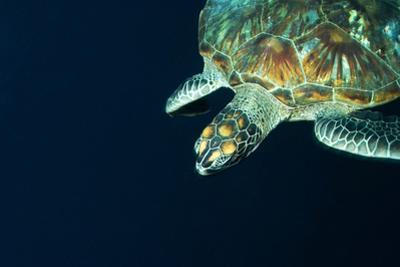 A Green Sea Turtle Swims in Open Water Offshore after Being Flushed Out of Shallows During Low Tide