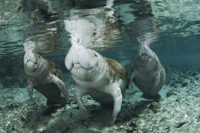 A Manatee Family, Mother and Two Calves, Possibly Twins, Come Up for Air by Mauricio Handler