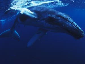 A Young Humpback Whale, Megaptera Novaeangliae by Mauricio Handler