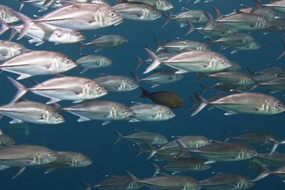 Bigeye Trevally Fish Congregate in Large Schools During Low Tide Off