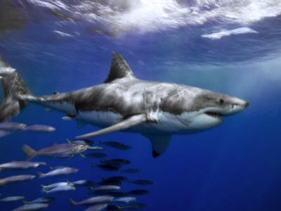Great White Shark Swims in Clear Water Off Guadalupe Island