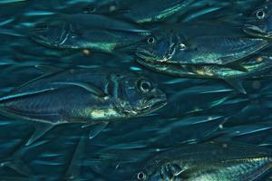 Schooling Trevally Jack Fish Swim in the Waters Off Sipadan Island by Mauricio Handler