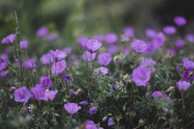 https://imgc.allpostersimages.com/img/posters/mauve-kamchatka-azalea-in-the-botanical-garden-in-bielefeld_u-L-Q1EZCJP0.jpg?artPerspective=n