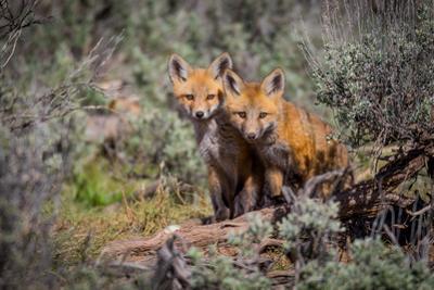 Red Fox pair in Utah by Mavourneen Strozewski