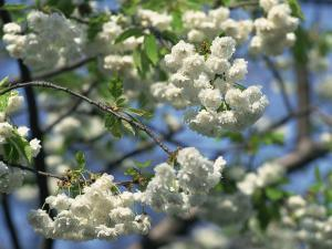 Close-Up of White Spring Blossom on a Tree in London, England, United Kingdom, Europe by Mawson Mark