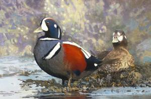 Harlequin Ducks by Max Hayslette