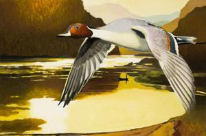 Northern Pintail Duck by Max Hayslette