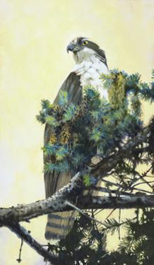 Osprey by Max Hayslette