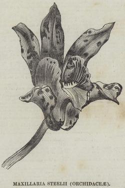 Maxillaria Steelii (Orchidaceae)
