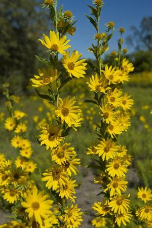 https://imgc.allpostersimages.com/img/posters/maximilian-s-sunflower-helianthus-maximiliani-in-bloom-texas-usa_u-L-PN6SGP0.jpg?p=0