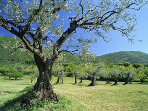 Olive Trees in a Grove in the Nyons District in the Drome Region of France, Europe by Maxwell Duncan
