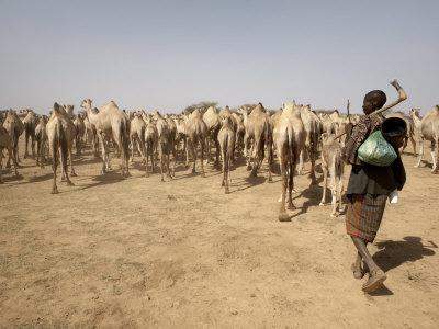Nomadic Camel Herders Lead their Herd to a Watering Hole in Rural Somaliland, Northern Somalia