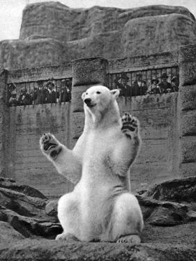 Polar Bear on the Mappin Terrace at London Zoo, 1926-1927 by McLeish