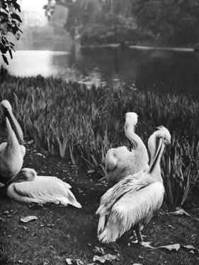 The Pelicans of St James's Park, London, 1926-1927 by McLeish