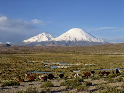Llamas Grazing before Volcanoes Parinacota and Pomerape, Lauca National Park, Chile, South America