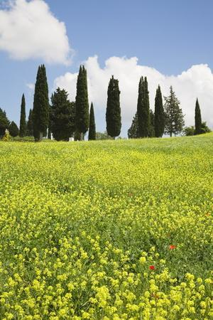 https://imgc.allpostersimages.com/img/posters/meadow-with-wildflowers-and-cypresses_u-L-PNFWBD0.jpg?artPerspective=n