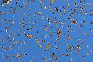 A 'Burst' of Monarchs in Sierra Chincua Santuario Mariposa Monarca in Michoacan, Mexico by Medford Taylor
