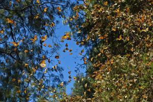 A 'Burst' of Monarchs in Sierra Chincua Santuario Mariposa Monarca, Michoacan, Mexico by Medford Taylor