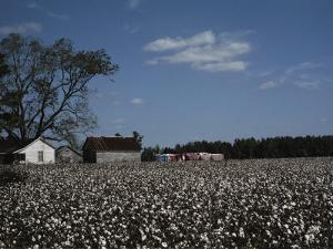 A Cotton Field Surrounds a Small Farm by Medford Taylor