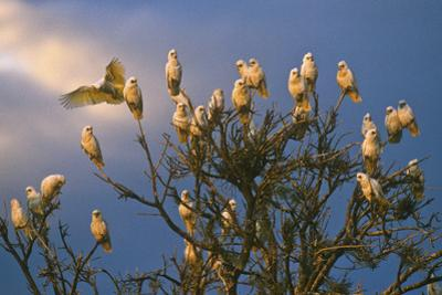 A Flock of Western Corellas Perching in a Tree in Australia's Outback in South Australia by Medford Taylor
