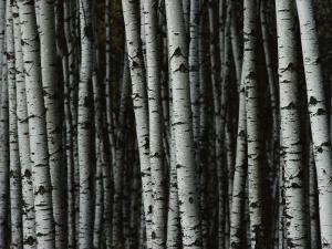 A Forest of White Birch Trees by Medford Taylor