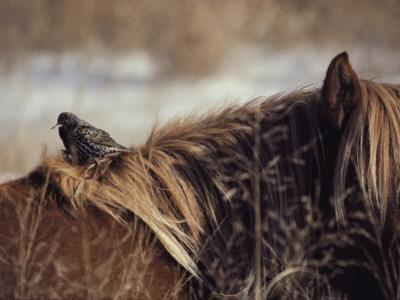 A Grackle Perches in the Mane of a Wild Chincoteague Pony