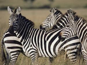 A Herd of Plains Zebras in Kenyas Masai Mara National Reserve by Medford Taylor