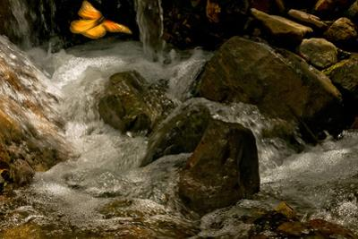 A Lone Monarch Flies over a Mountain Stream in Michoacan, Mexico by Medford Taylor