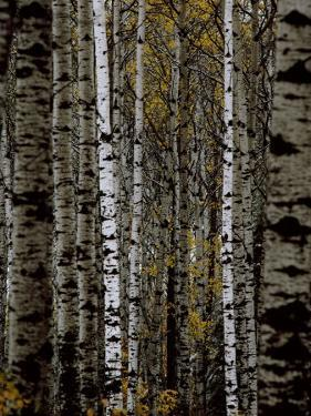 A Stand of Birch Trees by Medford Taylor