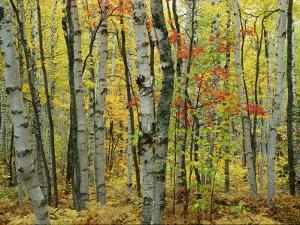 An Autumn View of a Birch Forest in Michigans Upper Peninsula by Medford Taylor