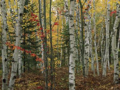 Birch Trees with Autumn Foliage