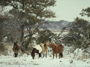 Chincoteague Ponies Forage for Food in the Snowy Assateague Landscape by Medford Taylor