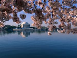 Japanese Cherry Blossoms Frame the Jefferson Memorial and the Tidal Basin by Medford Taylor