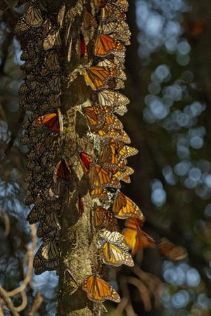 Monarch Butterflies Clustered on an Oyamel Fir Tree High in the Forests of Michoacan, Mexico by Medford Taylor