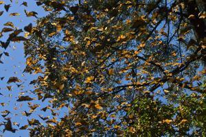Monarch Butterflies Fly Up in a 'Burst' in the Oyamel Fir Forests of El Rosario, Michoacan, Mexico by Medford Taylor