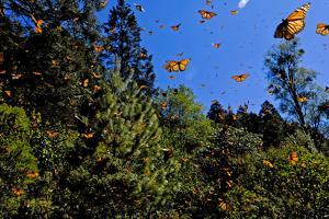 Monarch Butterflies in Sierra Chincua, Michoacan, Mexico by Medford Taylor