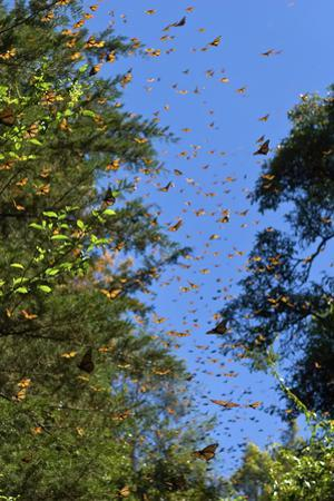 Monarch Butterflies Seek Water and Food before their Long Flight Back to the United States by Medford Taylor