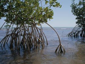 Root Legs of Red Mangroves Extend into Biscayne Bay by Medford Taylor