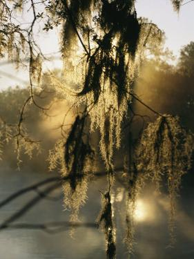 Spanish Moss Hanging from a Tree Branch in Afternoon Light by Medford Taylor