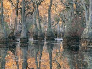 Sunlight Through a Cypress Swamp with Reflections by Medford Taylor