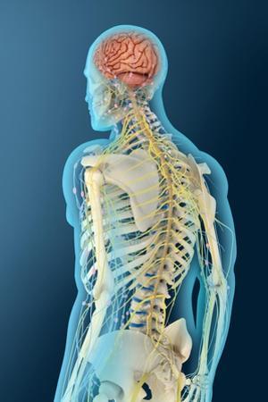 Medical Illustration of Human Brain and Brain Stem