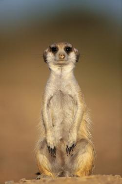 Meerkat Sitting Upright