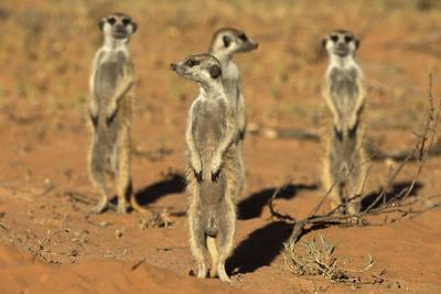 https://imgc.allpostersimages.com/img/posters/meerkats-suricata-suricatta-standing-alert-kgalagadi-transfrontier-park-northern-cape_u-L-Q13AASP0.jpg?p=0