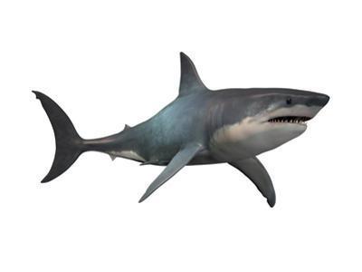 Megalodon Shark, an Enormous Predator from the Cenozoic Era