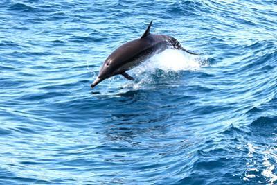 Dolphin jumping in California by Megan Kirkpatrick