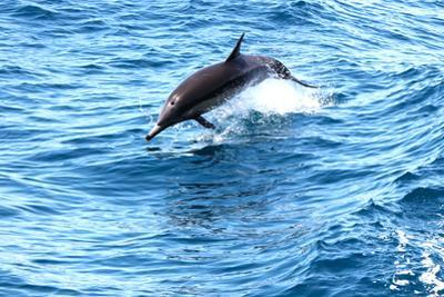 Dolphin jumping in California by Megan Kirkpatrick