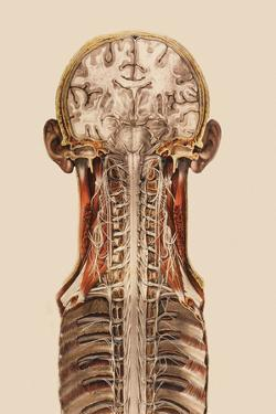 Central Nervous System Anatomy by Mehau Kulyk