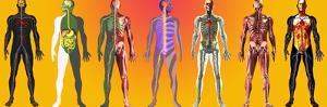 Human Anatomy ,artwork by Mehau Kulyk