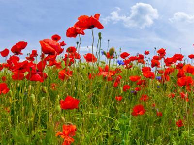 Field Of Poppies - Panoramic View by Melanie Viola
